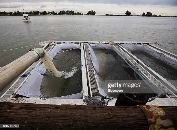 Chinook salmon are released into pens in Rio Vista California US on Tuesday March 25 2014 California will begin hauling 30 million young Chinook...