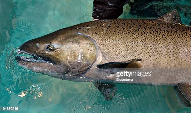 A chinook salmon is held for a photograph at the Livingston Stone National Fish Hatchery in Shasta Lake California US on Friday June 20 2008 The...