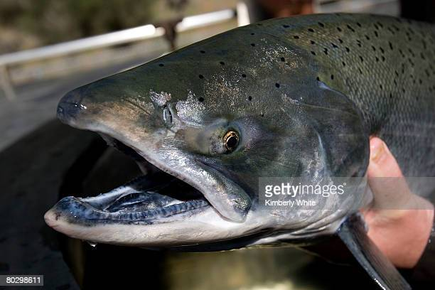 Chinook salmon is placed in a tank for propagation at the Livingston Stone National Fish Hatchery March 18 2008 in Shasta Lake California A...