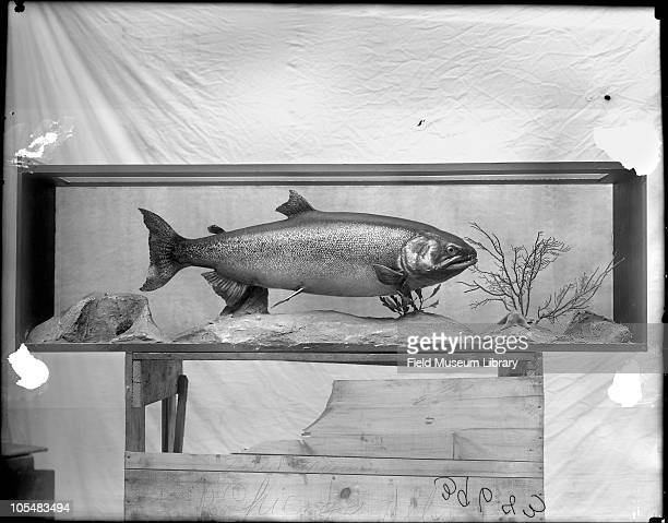Chinook salmon Oncorhynchus tshawytsca Adult in North Pacific Ocean Fish model in diorama with painted background on wooden crate in Field Columbian...