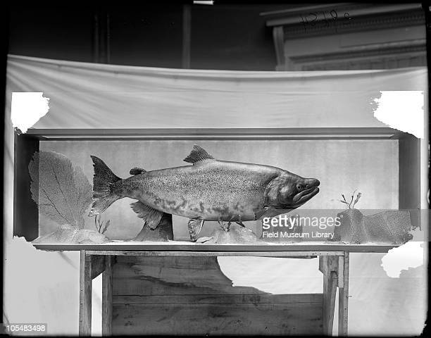 Chinook salmon Oncorhynchus tshawytsca Adult in North Pacific Ocean Fish model in diorama with sea fans and painted background on wooden crate in...