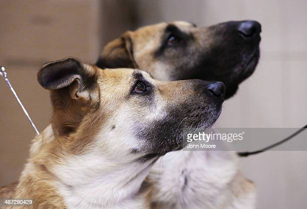 Chinooks watch their owners during a media event ahead of the 138th Westminster Kennel Club Dog Show on February 6 2014 at Madison Square Garden in...