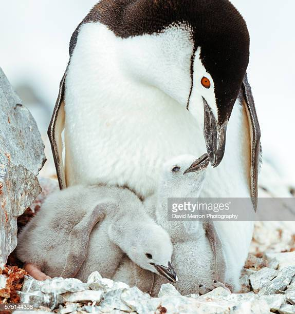 chinstrap family antarctica - chinstrap penguin stock pictures, royalty-free photos & images