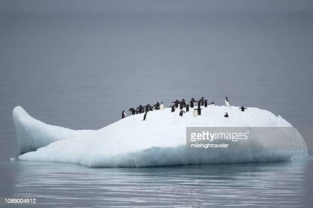 chinstrap gentoo adelie penguins float neko harbour iceberg antarctic peninsula antarctica - milehightraveler stock pictures, royalty-free photos & images