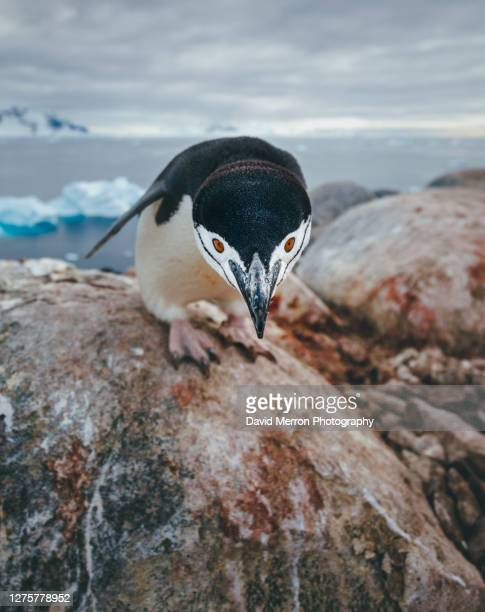 chinstrap penguin, antarctica - antarctic sound stock pictures, royalty-free photos & images