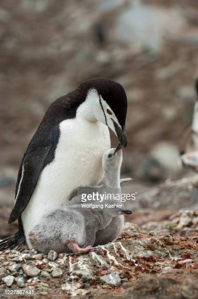 Chinstrap penguin at the nest with chicks begging for food in a nesting colony on Coronation Island in the South Orkney Islands, Antarctica.