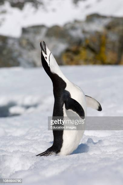 Chinstrap Penguin, calling, Half Moon Island, Antarctica.