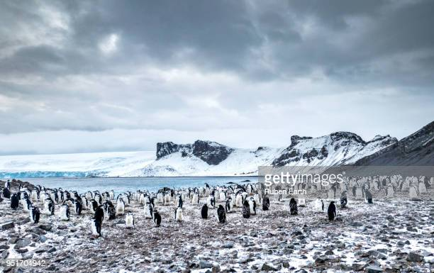 chinstrap penguin colony landscape - chinstrap penguin stock pictures, royalty-free photos & images