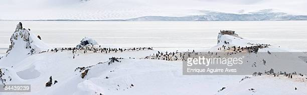 Chinstrap penguin (Pygoscelis antarctica) colony