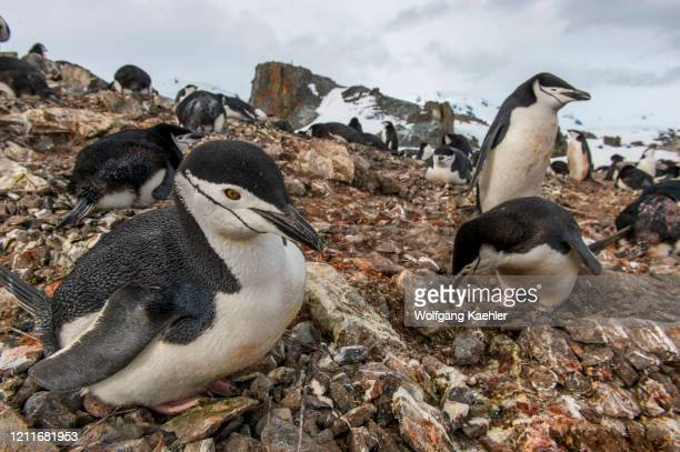 Chinstrap penguin colony with penguins incubating eggs on Halfmoon Island, South Shetland Islands off the coast of Antarctica.
