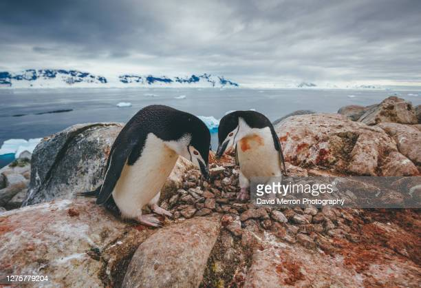 chinstrap penguin couple, antarctica - antarctic sound stock pictures, royalty-free photos & images
