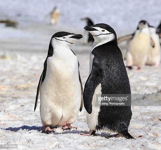 chinstrap penguin couple - chinstrap penguin stock pictures, royalty-free photos & images