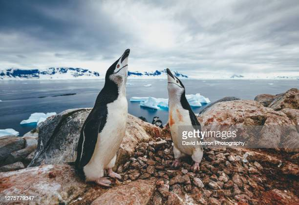 chinstrap penguin couple vocalize to each other, antarctica - antarctic sound stock pictures, royalty-free photos & images