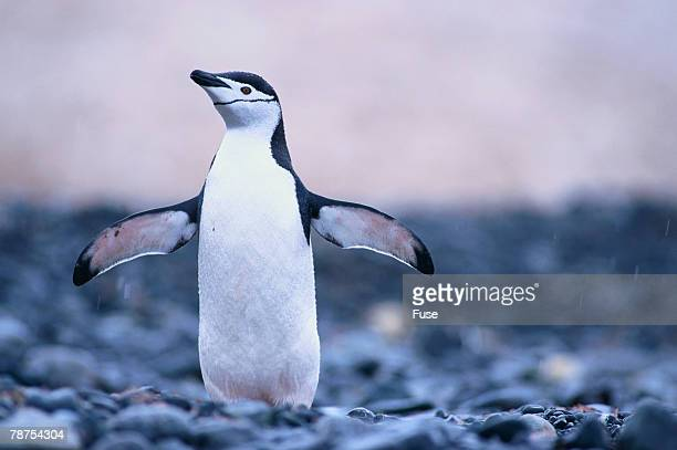 Chinstrap Penguin Drying its Wings