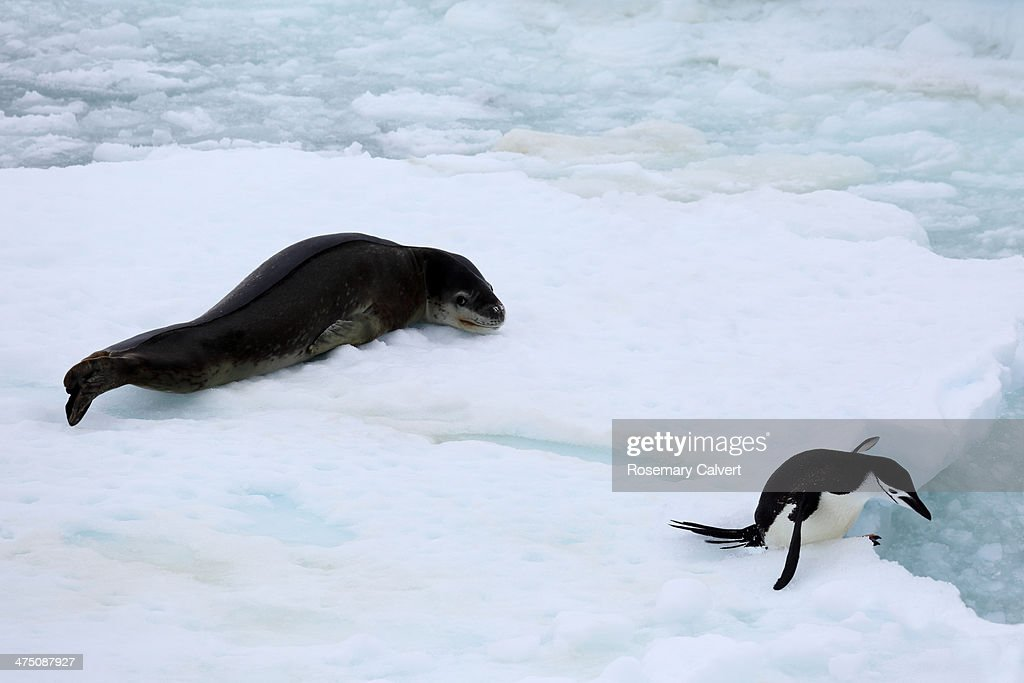 Chinstrap penguin escaping from leopard seal : Stock Photo