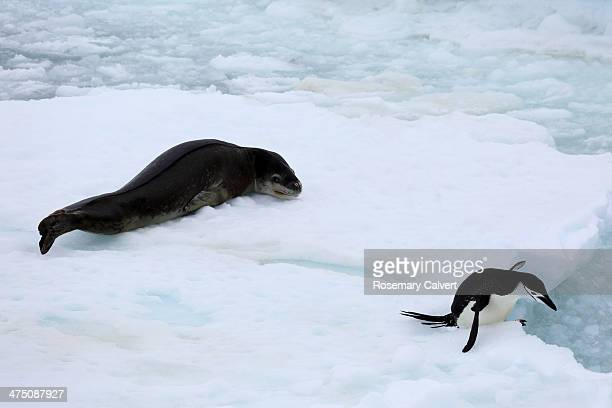chinstrap penguin escaping from leopard seal - 南極海峡 ストックフォトと画像