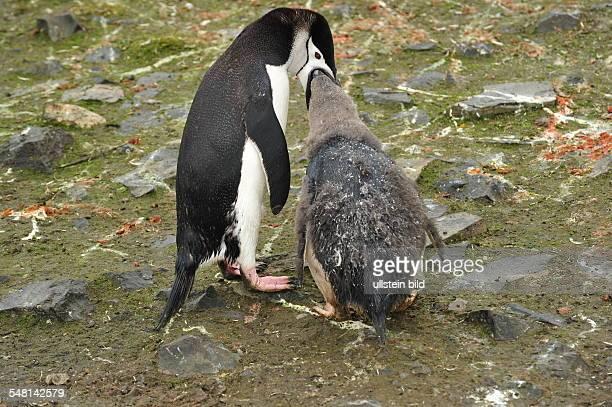Chinstrap Penguin feeding his fledgling