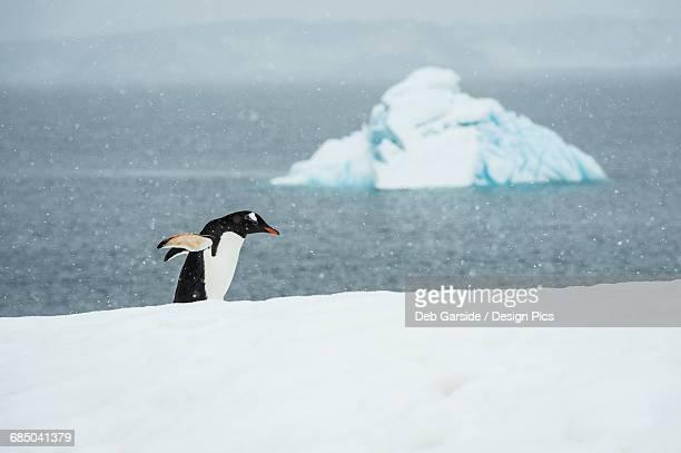 Chinstrap Penguin (Pygoscelis antarctica) in a snowfall