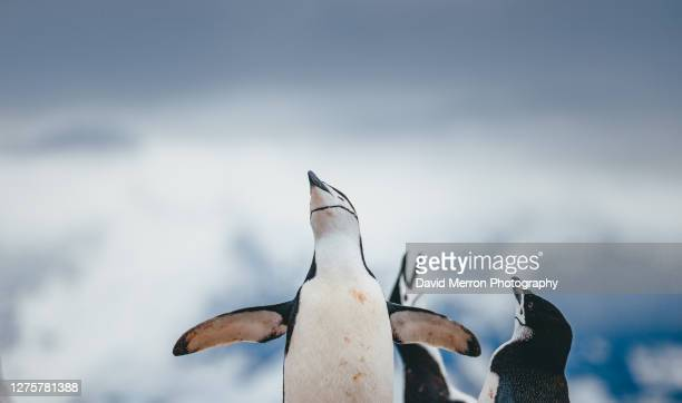 chinstrap penguin in antarctica - 南極大陸探検 ストックフォトと画像