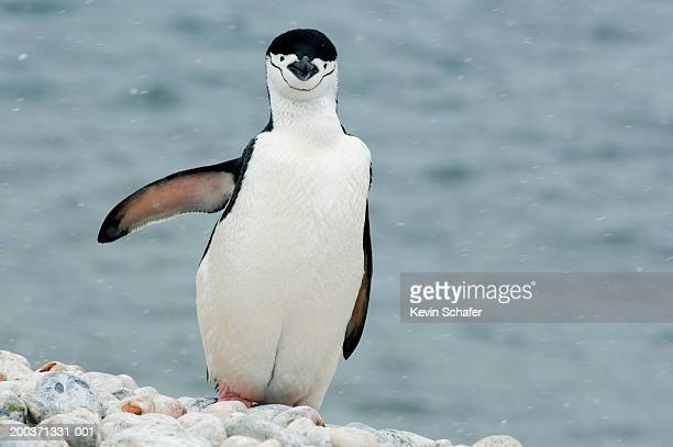 chinstrap penguin (pygoscelis antarctica) in snow beside bay - chinstrap penguin stock pictures, royalty-free photos & images