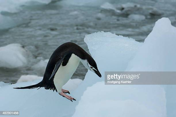 Chinstrap penguin is hopping over ice pebbles on Coronation Island in the South Orkney Islands, Antarctica.