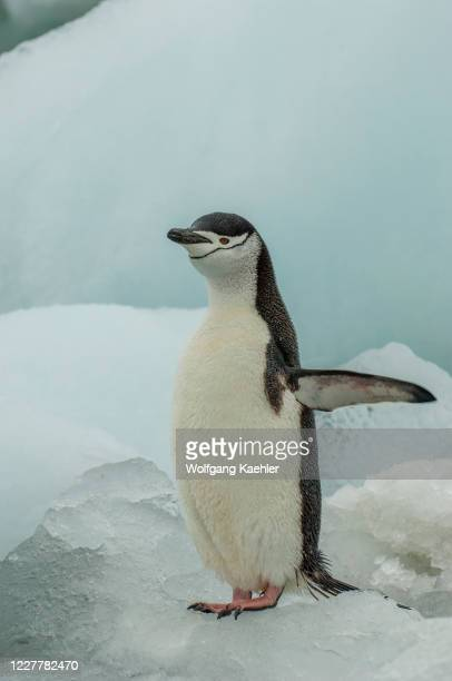 Chinstrap penguin is standing on an ice pebble on Coronation Island in the South Orkney Islands, Antarctica.