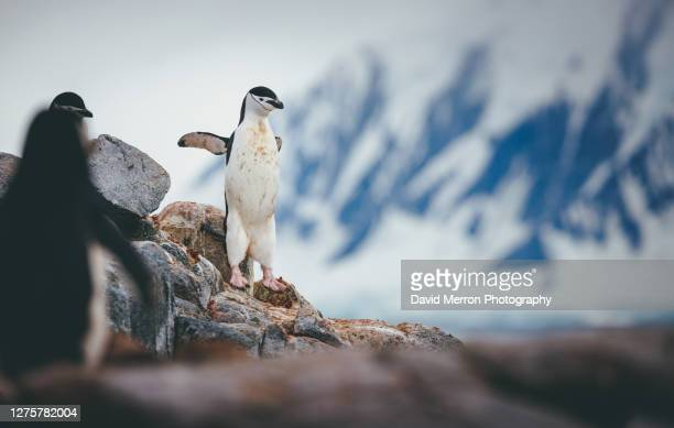 chinstrap penguin jumps down from a rock, antarctica - antarctic sound stock pictures, royalty-free photos & images