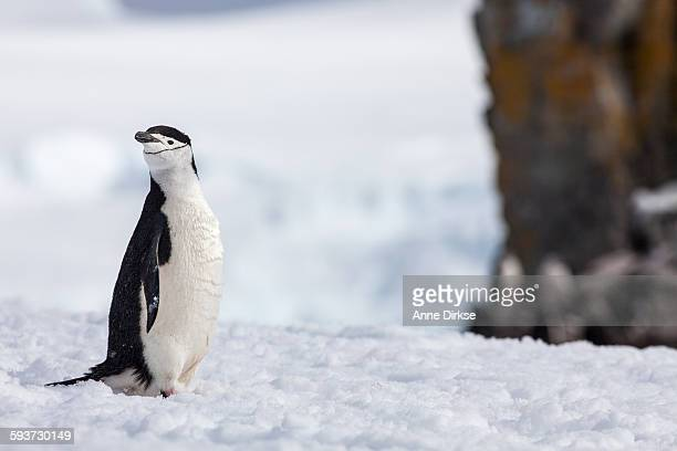 Chinstrap penguin looking over its shoulder