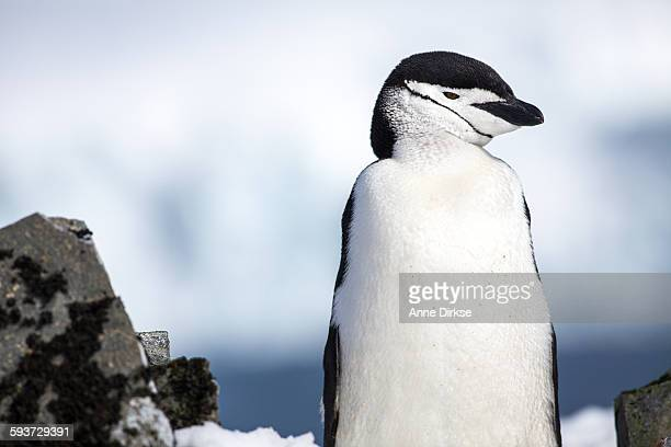 chinstrap penguin looking to the right - chinstrap penguin stock pictures, royalty-free photos & images
