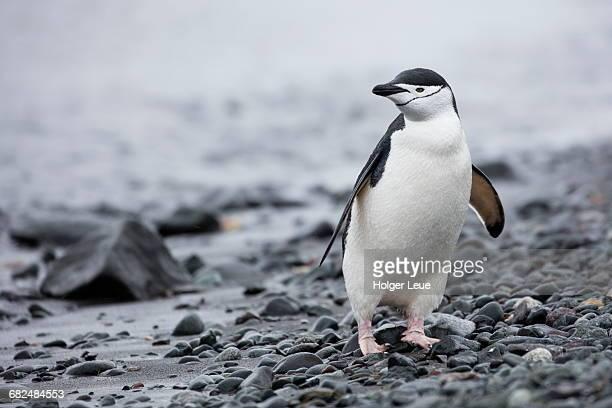 Chinstrap penguin (Pygoscelis antarctica) on beach