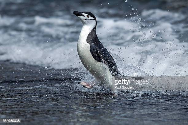 Chinstrap penguin on Deception Island, Antarctica
