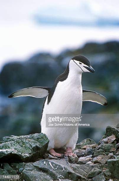 Chinstrap penguin on Half Moon Island, Bransfield Strait, Antarctica