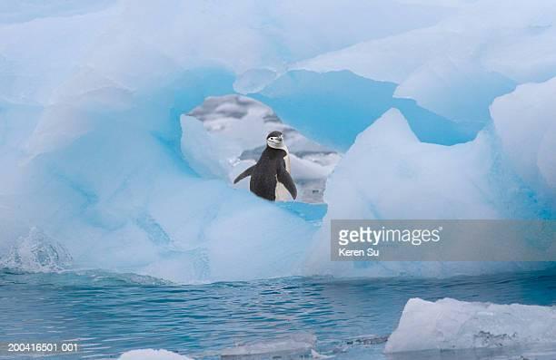 chinstrap penguin (pygoscelis antarcticus) on ice - stormbandpinguïn stockfoto's en -beelden