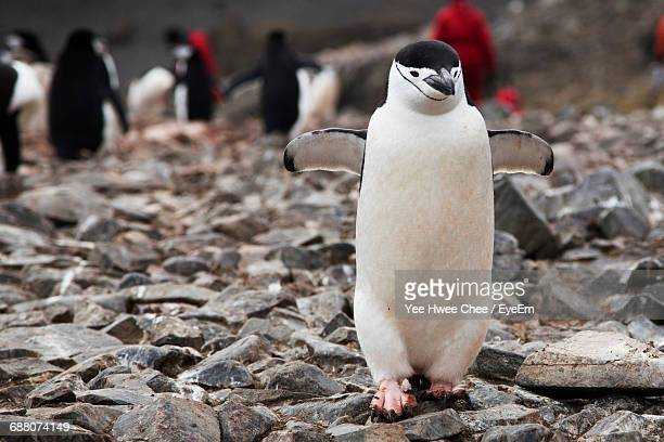 Chinstrap Penguin On Rocky Ground