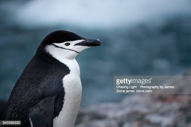 chinstrap penguin - chinstrap penguin stock pictures, royalty-free photos & images