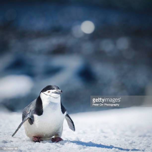 chinstrap penguin portrait - chinstrap penguin stock pictures, royalty-free photos & images