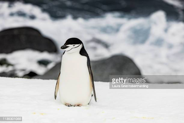 chinstrap penguin roaming around in scenic antarctica, polar regions - one animal stock pictures, royalty-free photos & images