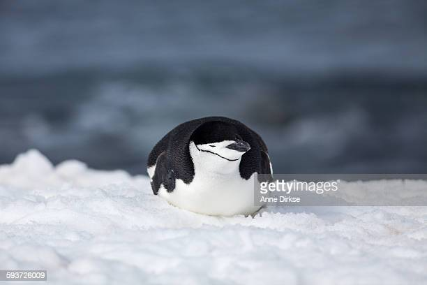 Chinstrap Penguin Sleeping in the Snow