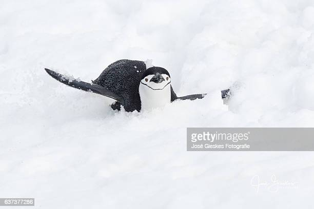 chinstrap penguin sliding down the hill on its belly - chinstrap penguin stock pictures, royalty-free photos & images