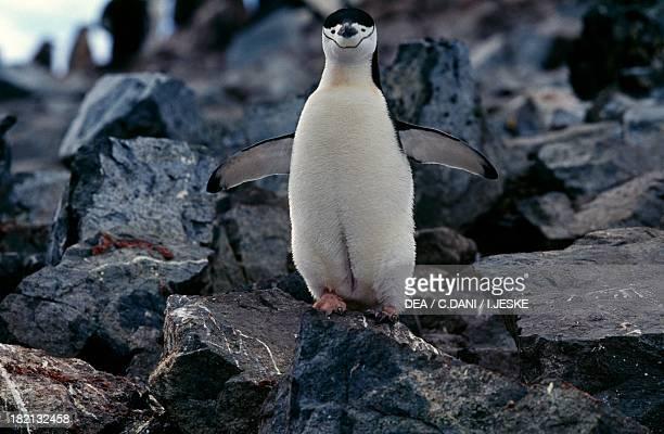 Chinstrap Penguin Spheniscidae Half Moon Island Antarctica