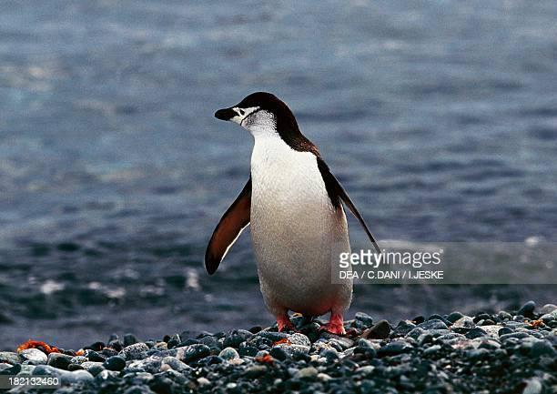 Chinstrap Penguin , Spheniscidae, Half-Moon Island, Antarctica.