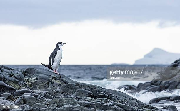 chinstrap penguin standing on rocks in antarticta - chinstrap penguin stock pictures, royalty-free photos & images