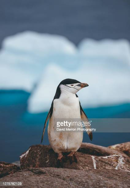 chinstrap penguin walk up a rock on an island in antarctica - antarctic sound foto e immagini stock