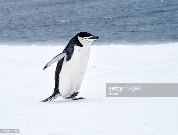 chinstrap penguin walking in snow in antarticta - chinstrap penguin stock pictures, royalty-free photos & images