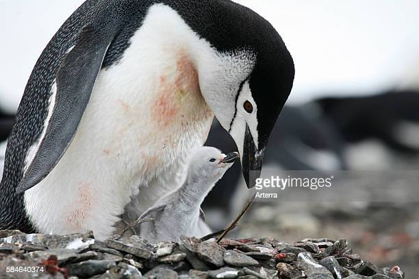 Chinstrap penguin with chick, Barrientos Island, South Shetland Islands, Antarctica.