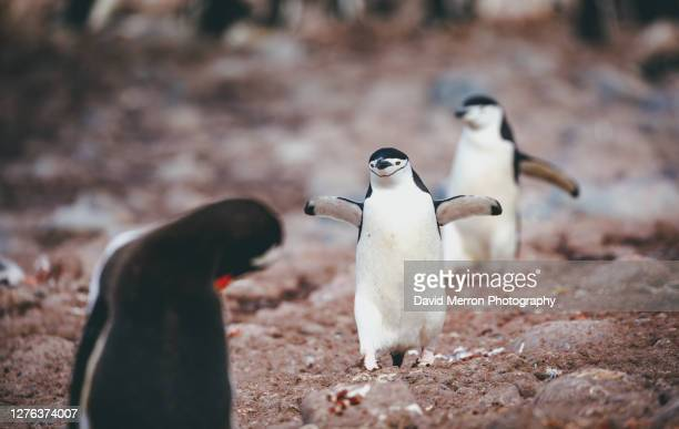 chinstrap penguins, antarctica - young bird stock pictures, royalty-free photos & images