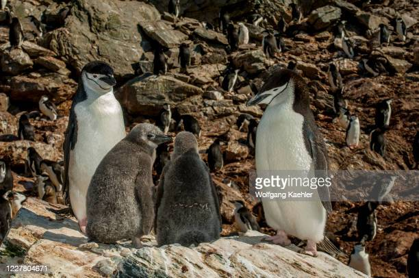 Chinstrap penguins at Point Wild, where the men of the Shackleton Endurance expedition 1914 to 1916 survived, on Elephant Island, an island in the...