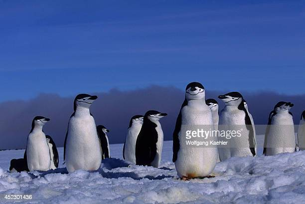 Chinstrap penguins at their nest sites which are still covered with snow in early spring on Zavodovski Island in the South Sandwich Islands Antarctica