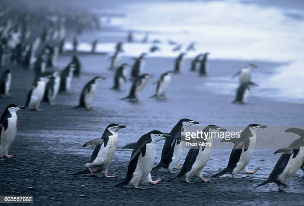 Chinstrap penguins by the ocean