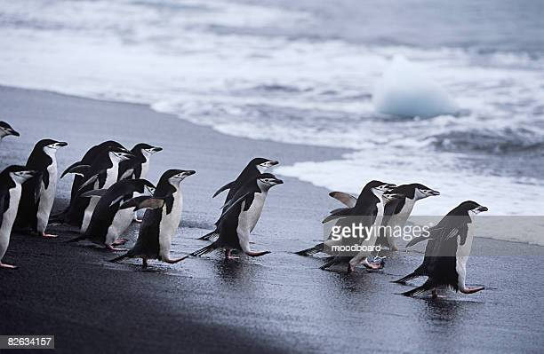 chinstrap penguins (pygoscelis antarcticus) colony walking into sea - chinstrap penguin stock pictures, royalty-free photos & images